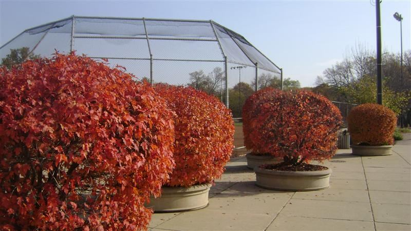 A group of bright orange bushes.